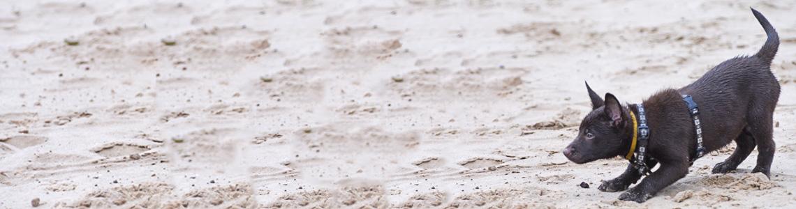 Australian Kelpie Association